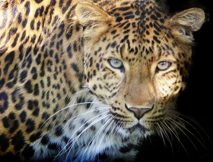 Afrique du Sud léopard