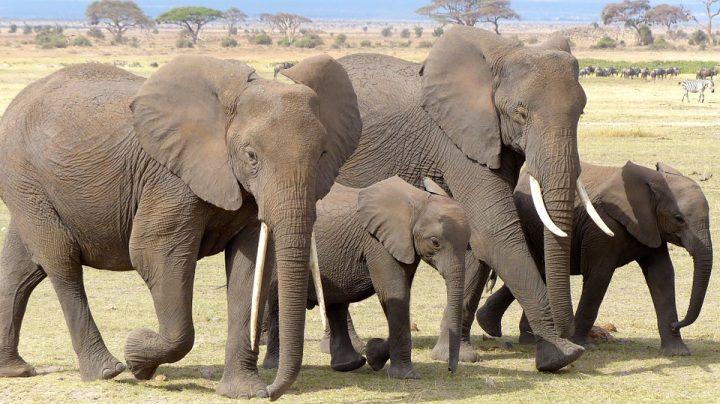 Elephant au Kenya
